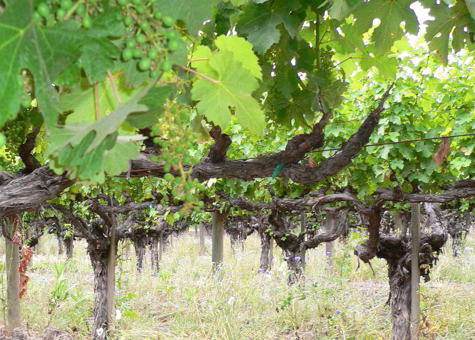 Old_vine_cabernet