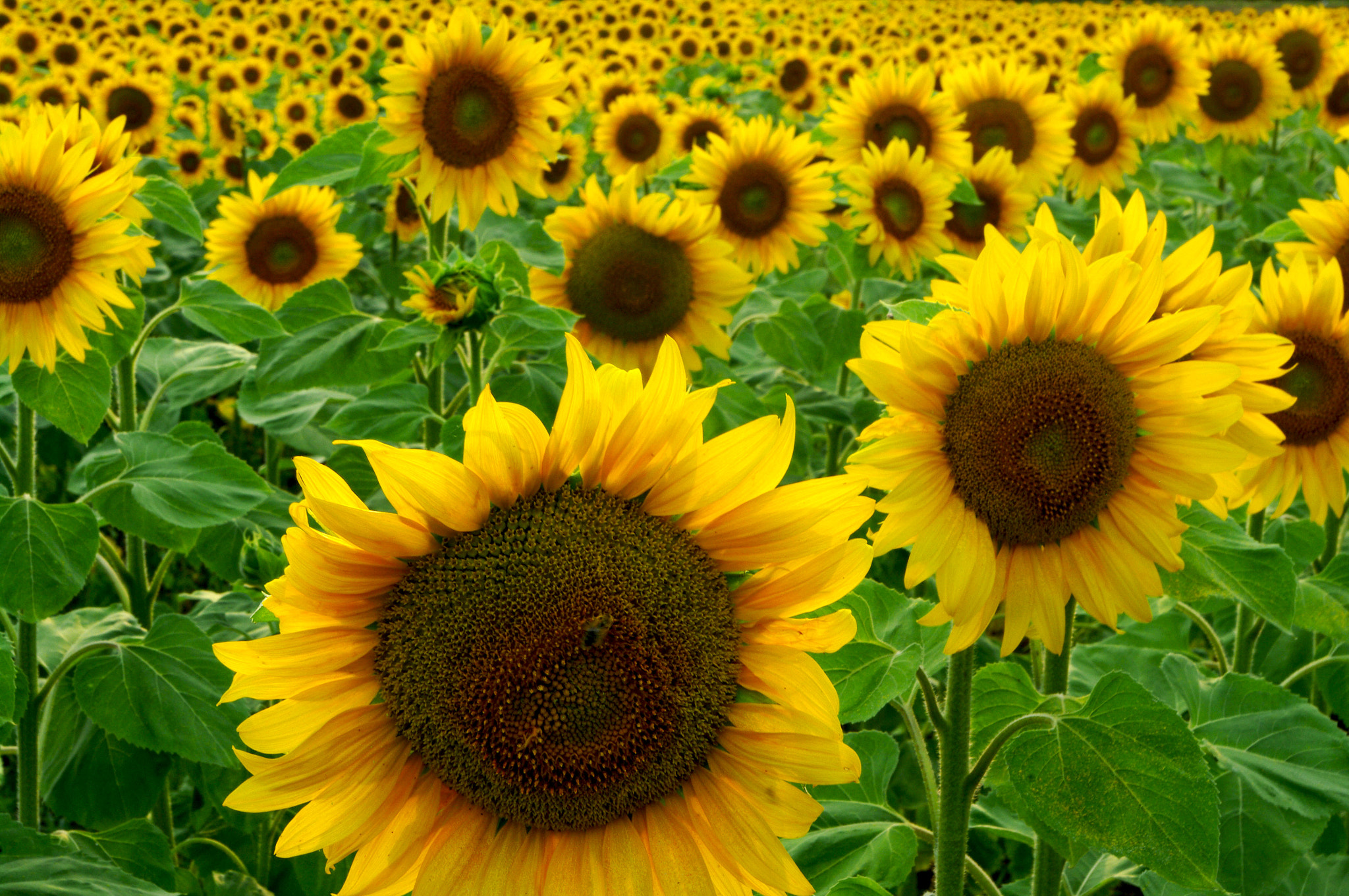 Sunflowers_(44662222)